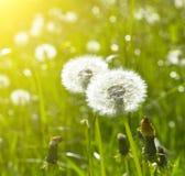 Blowballs en prado Imagen de archivo libre de regalías