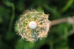 Blowballs en un campo por puesta del sol Foto de archivo libre de regalías