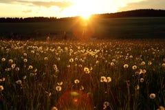 Blowballs en un campo por puesta del sol Fotos de archivo