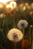 Blowballs en un campo por puesta del sol Fotografía de archivo libre de regalías