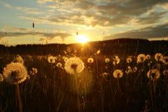 Blowballs en un campo por puesta del sol Imagen de archivo