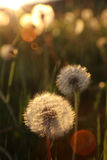 Blowballs in a field by sunset Royalty Free Stock Photography