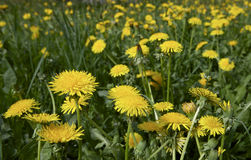 Blowballs. Flowers of blowball in a green field Stock Photos