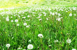 Blowballs. On grassland Royalty Free Stock Images