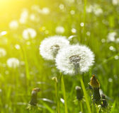 Blowballs on meadow. Blowballs on the green meadow Royalty Free Stock Image