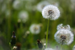 Blowballs on meadow Stock Photos