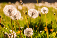 Blowballs in a meadow in evening sun Royalty Free Stock Photo