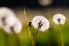 Blowballs in a meadow in evening sun Royalty Free Stock Images