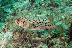 Blowfish в океане стоковая фотография rf