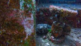 Blowfish в Perhentian, Малайзии стоковое фото