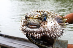 Blowfish или рыбы скалозуба стоковая фотография rf