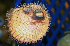 Blowfish на сувенирном магазине стоковое изображение rf