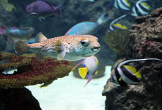 Blowfish Stock Photo