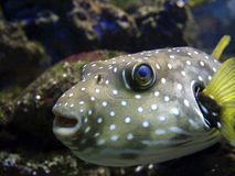 blowfish Fotografia Stock