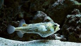 Blowfish Royalty Free Stock Photos