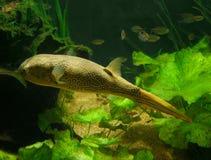 Blowfish royalty-vrije stock afbeelding