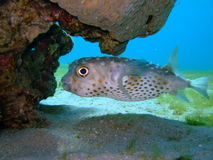 Blowfish. A cute Blowfish in the Red Sea Royalty Free Stock Image