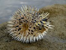 Blowfish Fotografie Stock