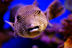 Blowfish Royalty Free Stock Photography