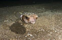 Blowfish. A small blow fish swiming close to the sea floor at night Royalty Free Stock Images