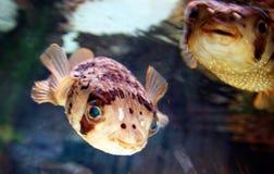 Blowfish Fotografering för Bildbyråer