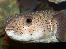 Blowfish In An Aquarium- Flash lit. Blowfish in an Aquarium- Dlash lit, dark background Royalty Free Stock Photo