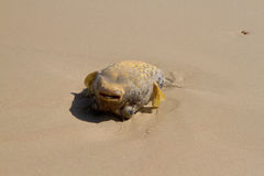 Blowfish on the beach Stock Photo