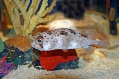 Blowfish de décolleur Photographie stock libre de droits