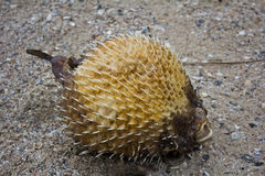The blowfish dies Stock Photography