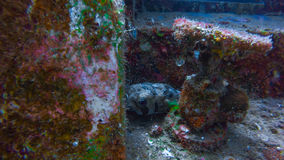 Blowfish em Perhentian, Malásia Foto de Stock