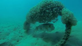 Blowfish hidden under rope with coral. At the bottom stock video