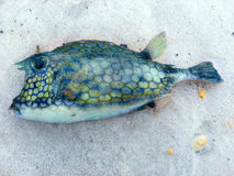 Blowfish lavado em terra na praia Imagem de Stock