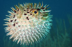 Blowfish lub diodon holocanthus podwodny w oceanie fotografia stock