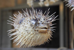 Blowfish am Markt Lizenzfreie Stockbilder