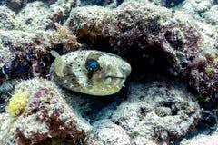 Blowfish ou peixes do soprador em Coral Reef, Bornéu imagens de stock
