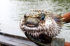 Blowfish ou poissons de décolleur Photographie stock libre de droits