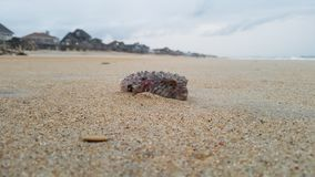 Blowfish, praia, areia fotos de stock