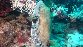 Blowfish puffer box on background of clear seabed underwater of Maldives. stock video footage