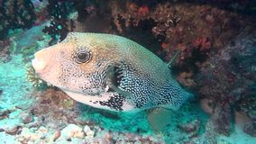 Blowfish puffer box on background of clear seabed underwater of Maldives. stock footage