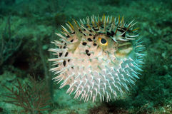 Blowfish or puffer fish in ocean. Blowfish or puffer fish underwater in ocean Royalty Free Stock Photography