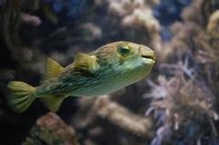 Blowfish swimming stock photography