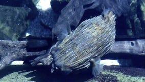 Blowfish Twisting stock video footage