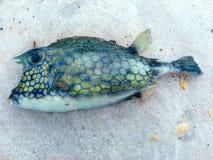 Blowfish waste aan wal op het Strand stock afbeelding