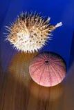 blowfish wysuszony jeża morze Zdjęcie Stock