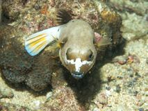 Blowfishsimning på undervattens- royaltyfri fotografi