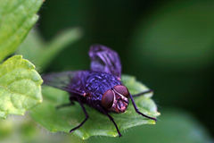 Blowfly Royalty Free Stock Photography