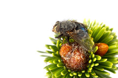 Blowfly Stock Image