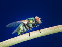 blowfly Fotos de Stock