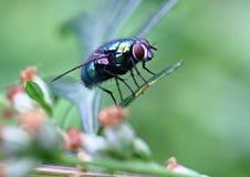 blowfly Immagini Stock