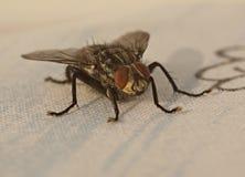 blowfly Immagini Stock Libere da Diritti